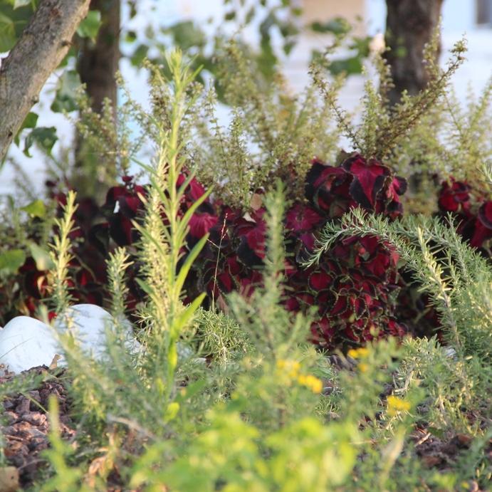 giardino aromatico 6 cut